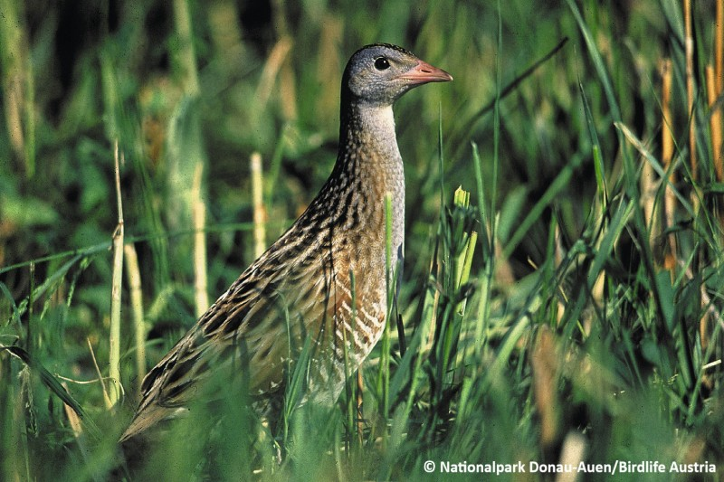 Image of The Corn Crake (Crex crex) standing in the grass