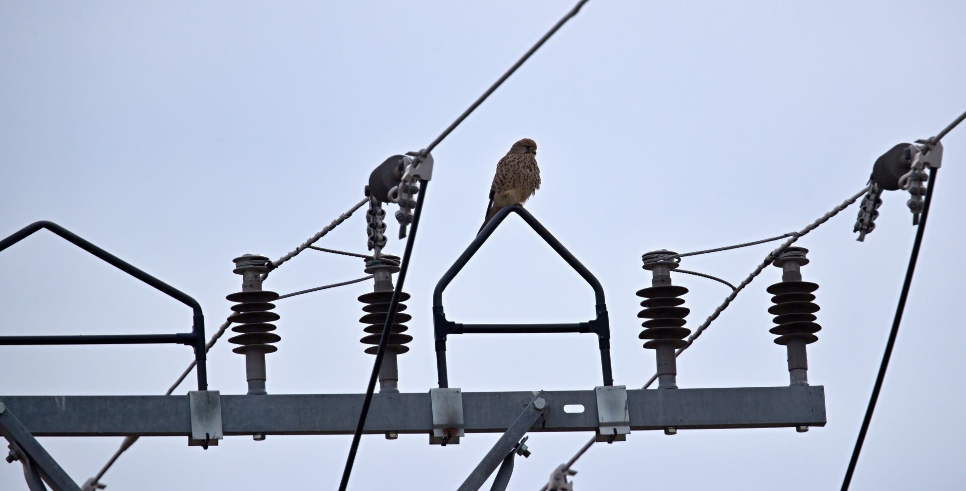 Illustration image of the Preventing electrocution project actions - Falcon sitting on the utility pole insulation equipment