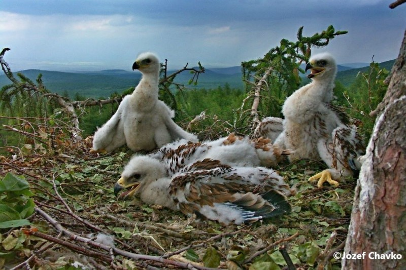 Illustration picture of the Project Objectives website section - the Eagle juveniles in the nest
