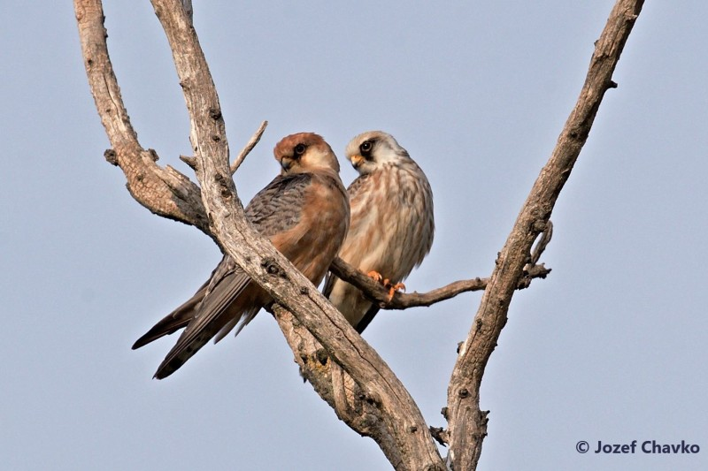 Illustration picture of the Project Partners website section - The pair of Red-footed Falcons sitting on the branch