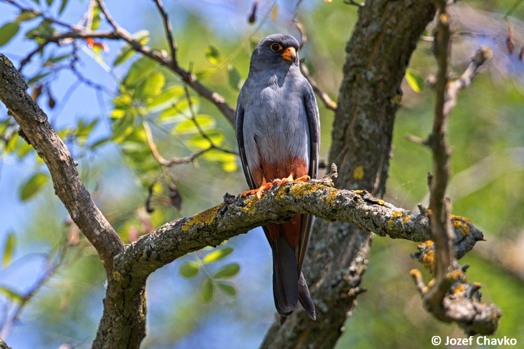 Image of The Red-footed Falcon (Falco vespertinus) sitting on the branch