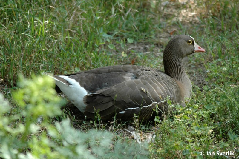 Image of The Lesser White-fronted Goose (Anser erythropus) sitting in the grass