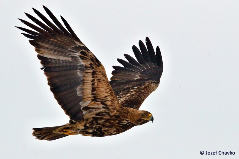 Image of The Imperial Eagle (Aquila heliaca) flying with the sky in the background