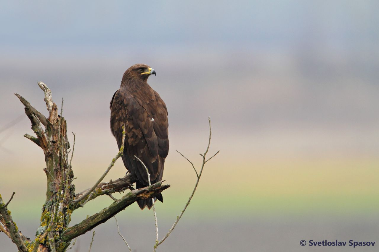 Image ofThe Greater Spotted Eagle (Clanga clanga) sitting on the branch