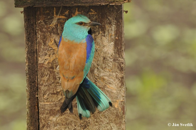 Image of The European roller (Coracias garrulus) sitting on the branch