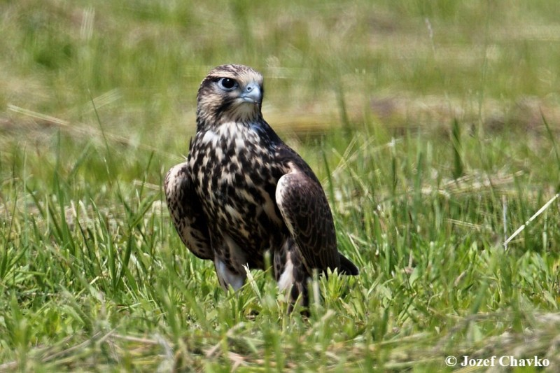 Image of The Saker Falcon (Falco cherrug) standing in the grass